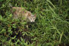 Cat in the bush. A cat hiding in the bush Royalty Free Stock Photos