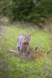 Cat in the bush. Wild cat on the loose Stock Images