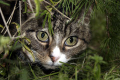 Cat in Bushes. A cat peering out through a hole in some bushes royalty free stock photo