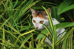 Cat In The Bushes. A photo taken on a cat hiding in some bushes looking at an object of interest Stock Image
