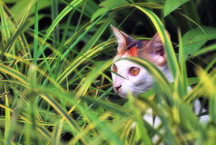Cat in the bushes. A photo taken off a cat hiding in the bushes Royalty Free Stock Photography