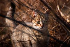 Cat in the bushes, cat hunting, domastic cat royalty free stock images