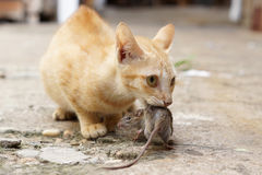 Cat caching mouse. A yellow cat caching a mouse Royalty Free Stock Photography