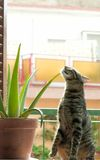Cat and cactus. The curiosity kills the cat Royalty Free Stock Photo