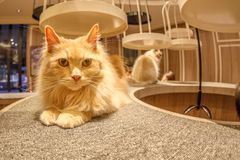 Cat Cafe Mocha. Tokyo, Japan - April 17, 2017: close-up of Turkish Angora cat sitting inside of Cat Cafe Mocha in Shibuya District. The Japanese who go to the stock photo