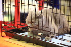 Cat in a cage. A cat of British Shorthair breed sits in his cage at the exhibition of domestic animals royalty free stock photo