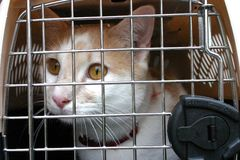 Cat in Cage Carrier. A close up image of a tan and white cat in a cage carrier with a scared look on its face Royalty Free Stock Photography