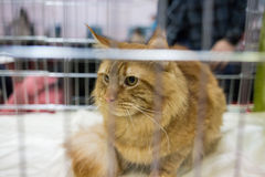 Cat in the cage at exhibition of cats. European shorthair cat. Royalty Free Stock Images