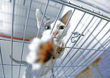 A cat in a cage at an interational cat exibition. Stock Images