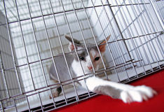A cat in a cage at an interational cat exibition Stock Images