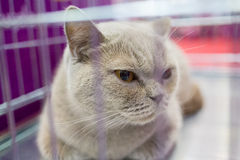 A cat in a cage at an interational cat exibition. The British cat. Royalty Free Stock Images