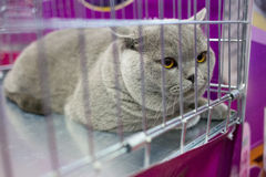 A cat in a cage at an interational cat exibition. The British cat. Royalty Free Stock Photos