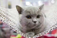 A cat in a cage at an interational cat exibition. British cat. Royalty Free Stock Images