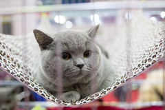 A cat in a cage at an interational cat exibition. British Shorthair cat, 1 year old, sitting. Royalty Free Stock Image