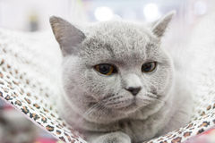A cat in a cage at an interational cat exibition. British Shorthair cat, 1 year old, sitting. Royalty Free Stock Photo