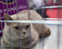 A cat in a cage at an interational cat exibition. Cat British blue shorthair. Stock Photos