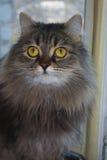 Cat called Bucks. Portrait of cat sitting on the window Royalty Free Stock Photos