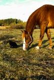 Cat Came nera al pascolo del cavallo fotografia stock libera da diritti