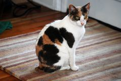 Cat Camouflage. Cat sits alert near the backdoor inside the house Stock Photos