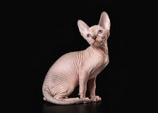 Cat. Canadian sphynx on black background Royalty Free Stock Photography