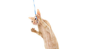 Cat, Canadian Sphynx, close up, isolated on white background Royalty Free Stock Images