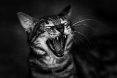 Cat canine teeth gape black white Royalty Free Stock Photography