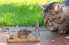 Cat and captured mouse, in the garden Royalty Free Stock Photo
