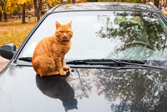 Cat on car. Red cat on the hood of a car Stock Image