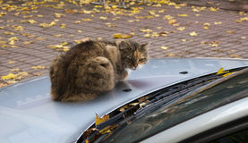 Cat by car Stock Image