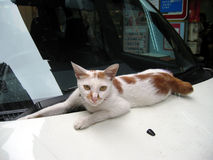 Cat on the car. A white a sitting on the front of a car Stock Image