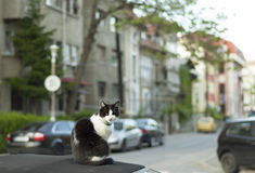 Cat on a car roof Royalty Free Stock Image