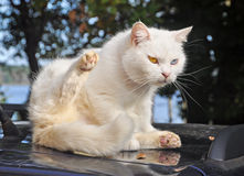 Cat on a car roof Stock Photo