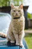Cat on a car. Cat sitting on a car Royalty Free Stock Photos