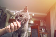 Cat caresses about the hand of a woman, close up of cat, happy cat, owner is stroking the cat, cat sniffs the owner`s finger royalty free stock photography