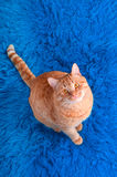 Cat on a carpet Royalty Free Stock Images