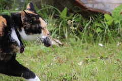 Cat carrying mouse. A close up shot of cat carrying it's prey (mouse Stock Photo