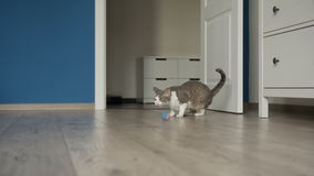 Cat carrying toy ball in jaws stock video