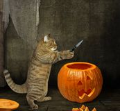 Cat carves pumpkin for Halloween stock photos