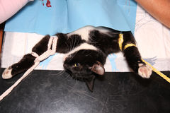 Cat castration. SLeeping cat lying on operation table Stock Photography