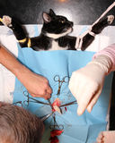 Cat castration Royalty Free Stock Photo