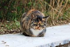 Cat. Belonging to the feline, sub-, wild , is the world`s more extensive family pets. The ancestors of the domestic  are presumably the desert  that originated Royalty Free Stock Photography
