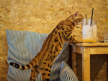 Cat in cat cafe. Cat in a cat cafe in Chiang Mai, Thailand stock images