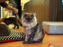 Cat in cat cafe. Cat in a cat cafe in Chiang Mai, Thailand stock image