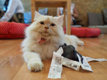 Cat in cat cafe Royalty Free Stock Images