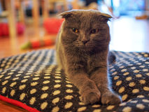 Cat in cat cafe Royalty Free Stock Image