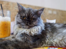 Cat in cat cafe Stock Photography