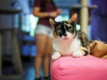 Cat in cat cafe in Madrid with girl in background. Cat in cat cafe in Madrid, Spain Royalty Free Stock Image