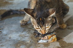 Cat ,Cat eat fish. Royalty Free Stock Image