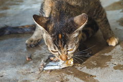 Cat ,Cat eat fish. Stock Image