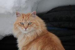 Cat. In the snow Stock Photography